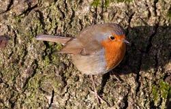 Robin britannico (rubecula del Erithacus) Fotografia Stock