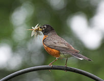 Robin with bugs stock photo