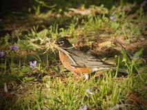 Robin Building a Nest in the Spring Royalty Free Stock Image