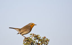 Robin on a Bush (Erithacus rubecula) Royalty Free Stock Photography