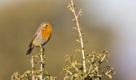 Robin on a Bush (Erithacus rubecula) Stock Image