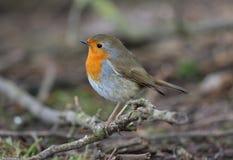 Robin. At Calke Abbey,Derbyshire stock photos
