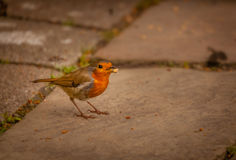 Robin carrying food Stock Photography