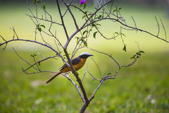 A Robin Chat on a branch Stock Photos
