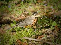Robin che costruisce un nido nella sorgente Fotografie Stock