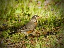 Robin che costruisce un nido nella sorgente Fotografia Stock