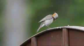 Robin che lo scuote testa del ` s sul recinto Immagini Stock Libere da Diritti