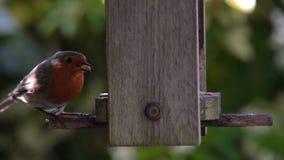 Robin che mangia i semi, cuori del girasole, da un alimentatore di legno dell'uccello in un giardino britannico durante l'estate stock footage