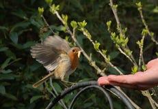 Robin che si alimenta da una mano Fotografia Stock