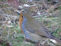 Robin che si siede fra i ramoscelli immagini stock libere da diritti
