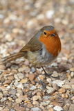 Robin. A cheeky robin with an orange red breast posing for the camera Royalty Free Stock Photos