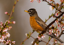 Robin in a Cherry tree Royalty Free Stock Photos