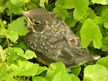 Robin chick. That apparently failed first flight and ended up on the forest floor Royalty Free Stock Photo
