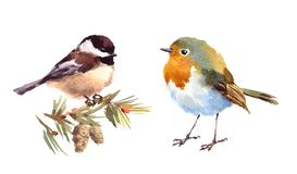 Robin and Chickadee Birds Watercolor Illustration Set Hand Drawn Stock Images