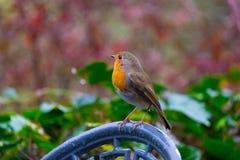 Robin Christmas icon Stock Photos