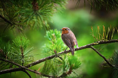 A robin on a Christmas tree Stock Photography