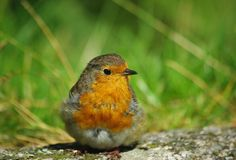Robin close up Stock Image