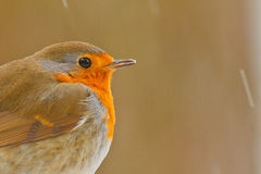 Robin close-up. With snow on a cold day Stock Photo
