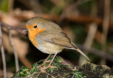 Robin Close-Up Images stock