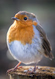Robin close up Stock Images