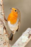 Robin Close up on Branch Royalty Free Stock Photo