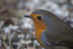 A robin Royalty Free Stock Images