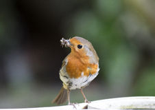 Robin collecting insects Royalty Free Stock Image