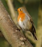 Robin, common British wild bird. The European robin Erithacus rubecula, known simply as the robin or robin redbreast in the British Isles, is a small Stock Photos