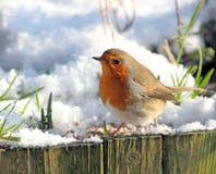 Robin comune ad orario invernale Fotografia Stock