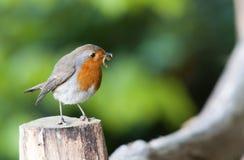 Robin con il centopiedi fotografie stock