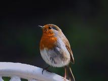 Robin con un pettirosso Fotografia Stock Libera da Diritti