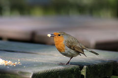 Robin with crumbs on outside table at cafe Stock Photos