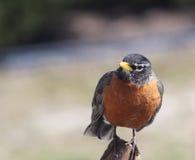 Robin curioso Fotografia Stock Libera da Diritti