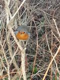 Resting robin stock photo