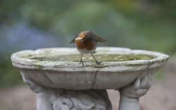 Robin. Cute robin in a British garden Royalty Free Stock Images
