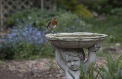 Robin. Cute robin in a British garden Stock Photos