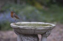 Robin. Cute robin in a British garden Royalty Free Stock Photography