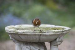 Robin. Cute robin in a British garden Stock Images