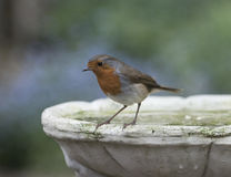 Robin. Cute robin in a British garden Royalty Free Stock Image