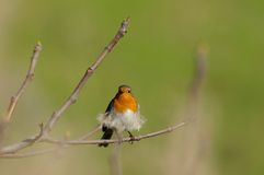 Robin. Cute robin on a tree branch Royalty Free Stock Photos