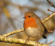 Robin dans l'arbre Photographie stock