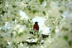 Robin dans l'arbre blanc de fleur photos stock