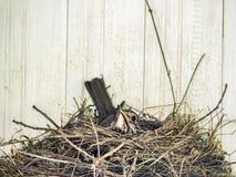 Robin dans la couvée de nid Images stock