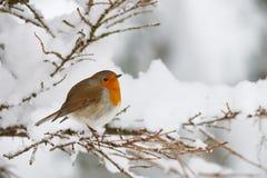 Robin dans la neige Images libres de droits