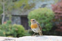 Robin dans le jardin de pays Photographie stock libre de droits