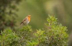 Robin in de regen Royalty-vrije Stock Afbeeldingen