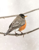 Robin in de sneeuw Stock Foto's