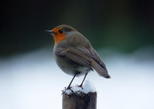 Robin in de winter Royalty-vrije Stock Afbeelding