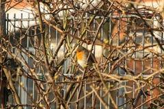Robin in den Büschen in der Sonne Lizenzfreies Stockfoto