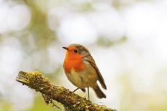 Robin in den Baumkronen Lizenzfreie Stockbilder